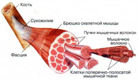 Строение мышц их структура скелетных мышц