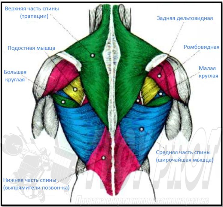 Спина - мышцы спины, анатомия спины
