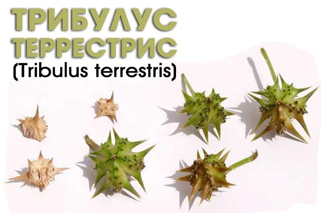 Трибулус террестис как выглядит